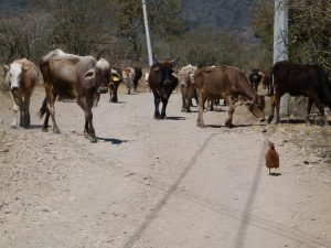 Backroads traffic near Talpa !